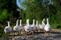 Geese Stock Image - 7976521