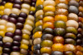 Multi-colored Indian Corn Or Maize. Stock Images - 7976994