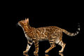 Adorable Breed Bengal Cat Isolated On Black Background Royalty Free Stock Image - 79706356