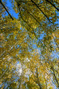 The White Birch Autumn Scenery Stock Images - 79746954