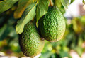 Green Fruit Of Avocado On The Tree Royalty Free Stock Images - 79766839