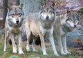 Wolves Royalty Free Stock Photo - 79786445