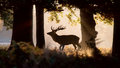 Wild Deer Forest Silhouette. Morning Sunlight Royalty Free Stock Image - 79790456