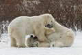 Two Polar Bears Playing With Each Other In The Tundra. Canada. Stock Images - 79802404