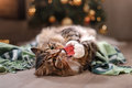 Tabby And Happy Cat. Christmas Season 2017, New Year, Holidays And Celebration Stock Photo - 79815590