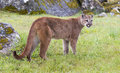 Mountain Lion On Grass With Lichen Covered Rocks Royalty Free Stock Image - 79823536