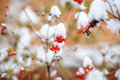Red Berries Covered With Fresh Snow On Tree, Autumn, Winter Stock Images - 79830704