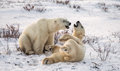 Two Polar Bears Playing With Each Other In The Tundra. Canada. Stock Photography - 79840012
