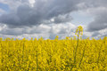 Agricultural Fields Of Mustard Blooming In Spring / Denmark Stock Image - 79919021