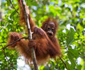 Portrait Of A Baby Orangutan. Close-up. Indonesia. The Island Of Kalimantan (Borneo). Stock Photos - 79921213