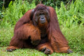 A Big Dominant Male Sitting On The Grass. Indonesia. The Island Of Kalimantan Borneo. Royalty Free Stock Photo - 79961465