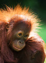 Portrait Of A Baby Orangutan. Close-up. Indonesia. The Island Of Kalimantan Borneo. Royalty Free Stock Photo - 79962315