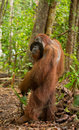 Orangutan Stands On Its Hind Legs In The Jungle. Indonesia. The Island Of Kalimantan Borneo. Stock Photography - 79965282