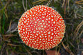 Fly-agaric Mushroom In A Forest, Closeup Photo Royalty Free Stock Photos - 80045738