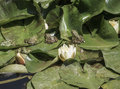 Frogs On Leaves Of Water Lily On Lake Stock Image - 80094041