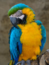Blue-and-yellow Macaw (Ara Ararauna), Macaw Parrot Stock Images - 80096704