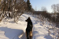 German Shepherd Dog On Snow Royalty Free Stock Photo - 80145775