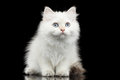 Furry British Breed Kitty White Color On Isolated Black Background Royalty Free Stock Photo - 80170835