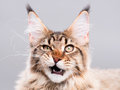 Portrait Of Maine Coon Cat Royalty Free Stock Images - 80199939