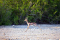 Small Gazelle On Sir Bani Yas Island, UAE Royalty Free Stock Photography - 80215437