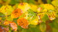 Autumn Rusty And Wet Leaves Close-up Stock Image - 80286731