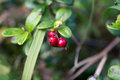 Cowberries In The Altai Forest Stock Photos - 80292633
