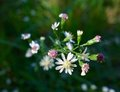Macro Of Small White Flowers Budding In Autumn Stock Images - 80298304