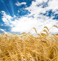 Wheat Spikes Stock Image - 8038511