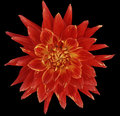 Dahlia Brightly Red  Flower, Black  Background Isolated  With Clipping Path. Closeup. With No Shadows. Great, Spotted, Spiky Flowe Stock Photo - 80324150