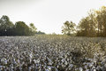 Cotton Field At Sunrise Stock Photography - 80368052