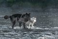 Grey Wolves &x28;Canis Lupus&x29; Look Out From River Stock Images - 80402004