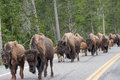 Bison On The Road Again Stock Photos - 80515073