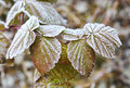 The First Frost In Autumn, Frost On Raspberry Leaves. Royalty Free Stock Photography - 80535767