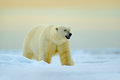Polar Bear Walking On Drift Ice With Snow. White Animal In The Nature Habitat, Russia. Dangerous Polar Bear In The Cold Sea. Polar Royalty Free Stock Images - 80547199