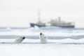 Swimming Two Polar Bears. Fight Of Polar Bears In Water Between Drift Ice With Snow. Blurred Cruise Chip In Background, Svalbard, Stock Images - 80547454