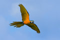 Big Blue And Yellow Parrot Macaw, Ara Ararauna, Wild Bird Flying On Dark Blue Sky. Action Scene In The Nature Habitat, Pantanal, B Royalty Free Stock Photography - 80547697