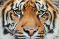 Close-up Detail Portrait Of Tiger. Sumatran Tiger, Panthera Tigris Sumatrae, Rare Tiger Subspecies That Inhabits The Indonesian Is Royalty Free Stock Image - 80547716