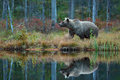 Big Brown Bear Walking Around Lake In The Morning Sun. Dangerous Animal In The Forest. Wildlife Scene From Europe. Brown Bird In T Stock Photography - 80548082