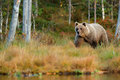 Wildlife Scene From Finland Near Russia Bolder. Autumn Forest With Bear. Beautiful Brown Bear Walking Around Lake With Autumn Colo Royalty Free Stock Images - 80548139