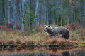 Big Brown Bear Walking Around Lake In The Morning Sun. Dangerous Animal In The Forest. Wildlife Scene From Europe. Brown Bird In T Stock Photo - 80548190