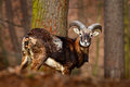 Forest Animal In The Habitat. Mouflon, Ovis Orientalis, Forest Horned Animal In The Nature Habitat, Portrait Of Mammal With Big Ho Stock Images - 80548534