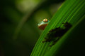 Golden-eyed Leaf Frog, Cruziohyla Calcarifer, Green Frog Hidden On The Leaves, Tree Frog In The Nature Habitat, Corcovado, Costa R Royalty Free Stock Image - 80549346