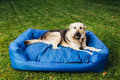 Guilty Dog On His Bed, Green Grass Background Royalty Free Stock Photos - 80567868