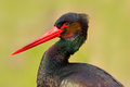 Detail Close-up Portrait Of Bird. Bird Black Stork With Red Bill, Ciconia Nigra, Sitting On The Nest In The Forest  Long Red Bill Stock Photos - 80568023