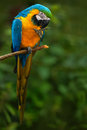 Portrait Of Blue-and-yellow Macaw, Ara Ararauna, Also Known As The Blue-and-gold Macaw, Is A Large South American Parrot With Blue Royalty Free Stock Photo - 80569035