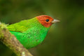 Bay-headed Tanager, Tangara Gyrola Toddi, Exotic Tropic Blue Tanager With Red Head, Santa Marta, Colombia. Blue And Green Songbird Royalty Free Stock Photography - 80570167