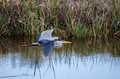 Great Blue Heron Flying, Savannah National Wildlife Refuge Royalty Free Stock Photography - 80575327