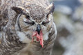 Great Horned Owl. Stock Photos - 80583883
