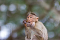Bonnet Macaque. Stock Photography - 80584952