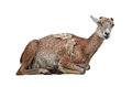 Mouflon Stock Photography - 80600422